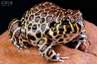 Leptodactylus laticeps, Coralline frog, Paraguay