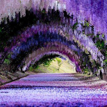 Il-tunnel-di-glicine-nella-città-giapponese-di-Kitakyushu-Collater.al-4