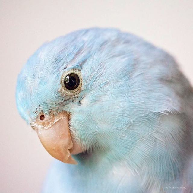 pacific-parrotlets-bird-photography-rupa-sutton-1