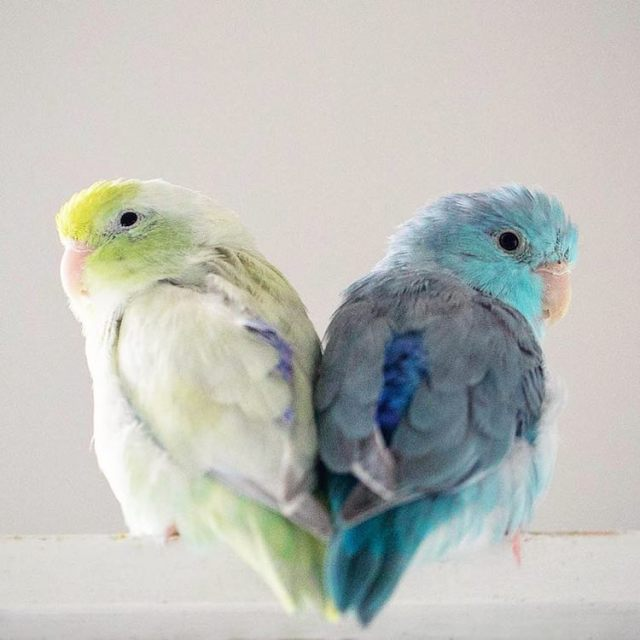 pacific-parrotlets-bird-photography-rupa-sutton-10