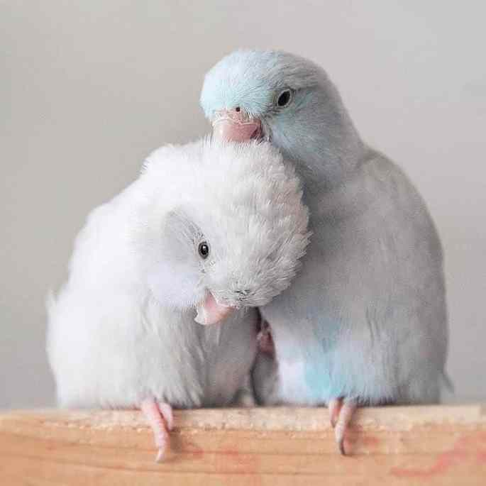 pacific-parrotlets-bird-photography-rupa-sutton-16
