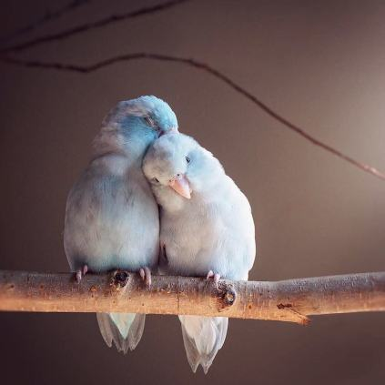 pacific-parrotlets-bird-photography-rupa-sutton-18