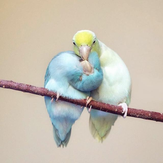pacific-parrotlets-bird-photography-rupa-sutton-20