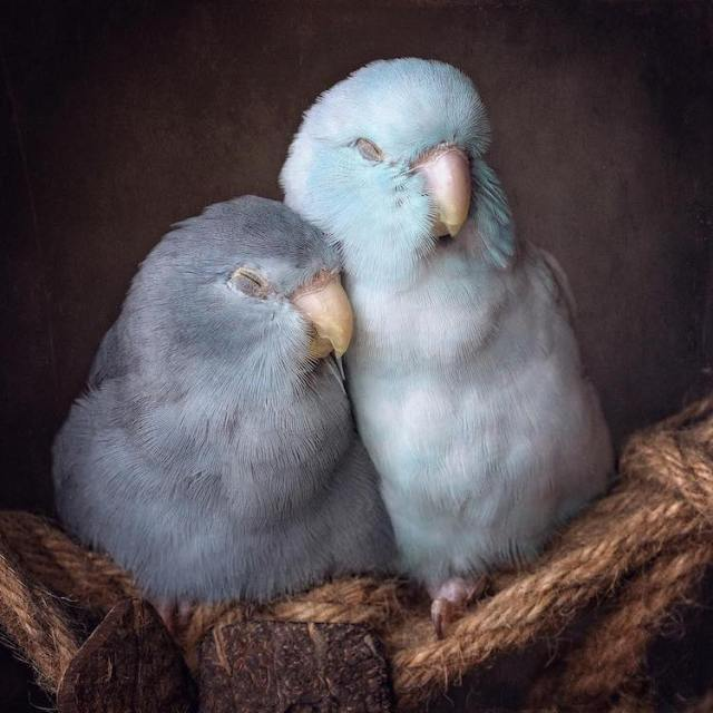pacific-parrotlets-bird-photography-rupa-sutton-5