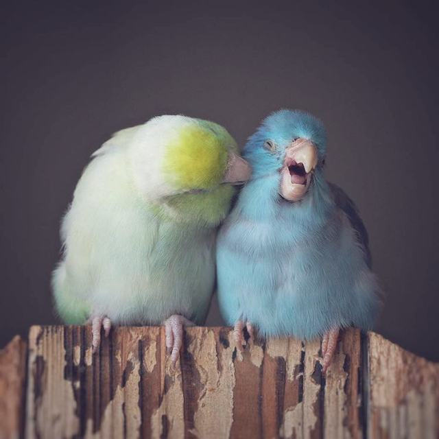 pacific-parrotlets-bird-photography-rupa-sutton-8