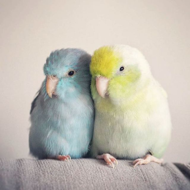 pacific-parrotlets-bird-photography-rupa-sutton-9