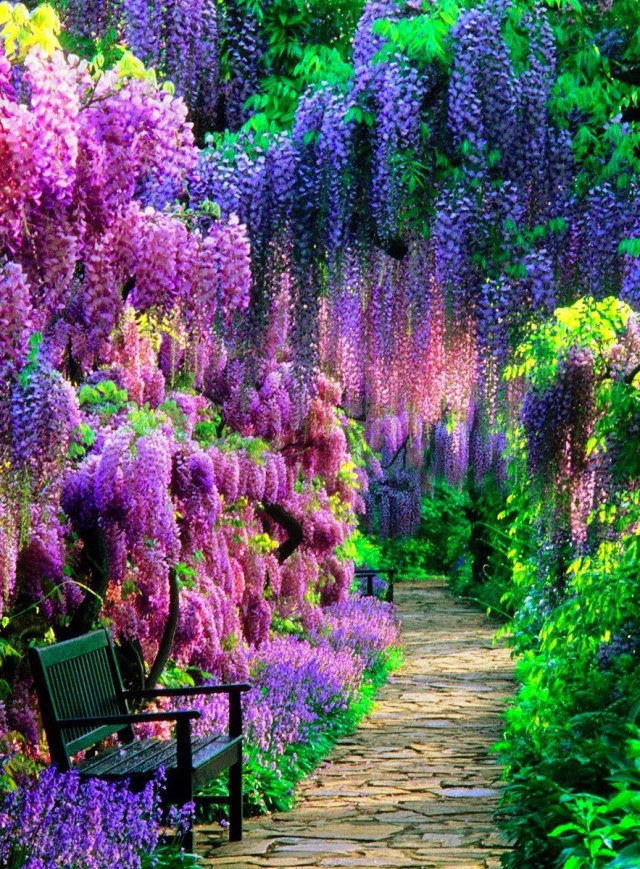 wisteria-tunnel-kawachi-fuji-garden-japan