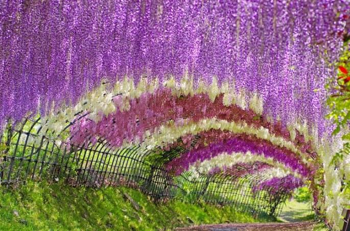 wisteria-tunnels-5