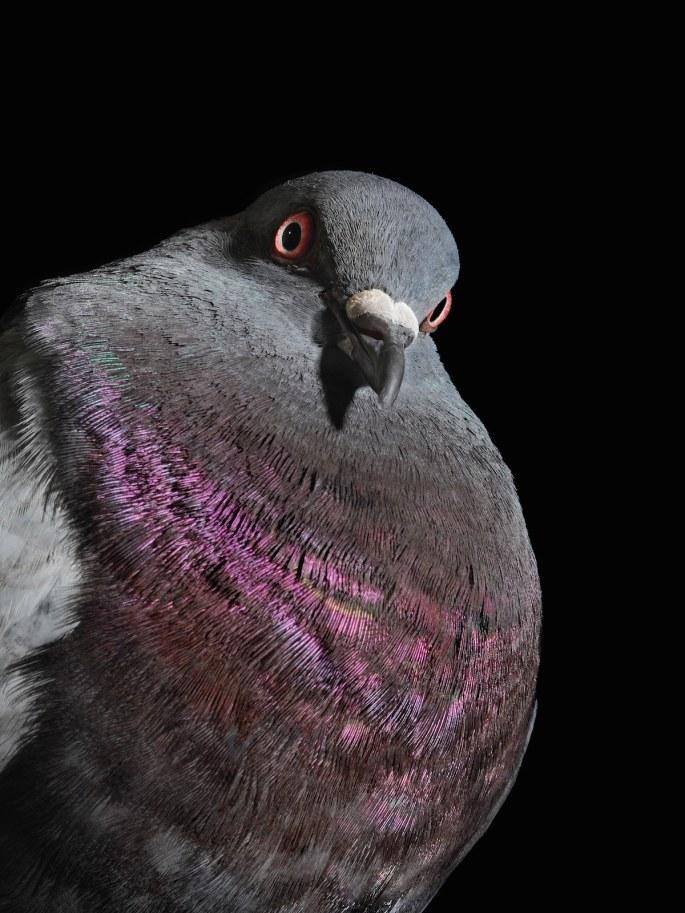 pigeon-photos-andrew-garn-1