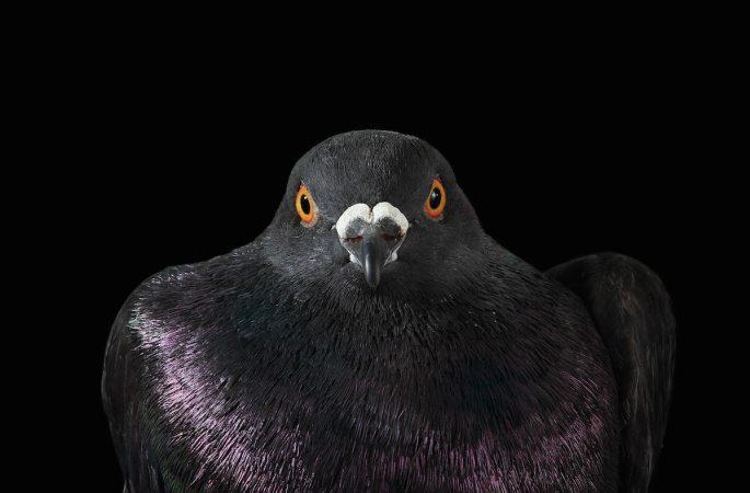 pigeon-photos-andrew-garn-10