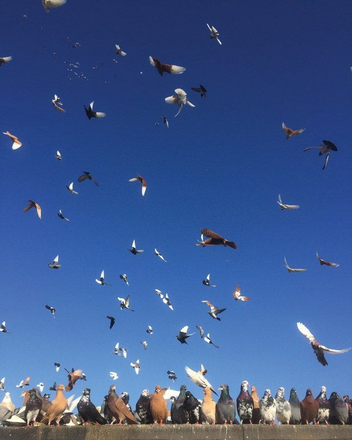 pigeon-photos-andrew-garn-14