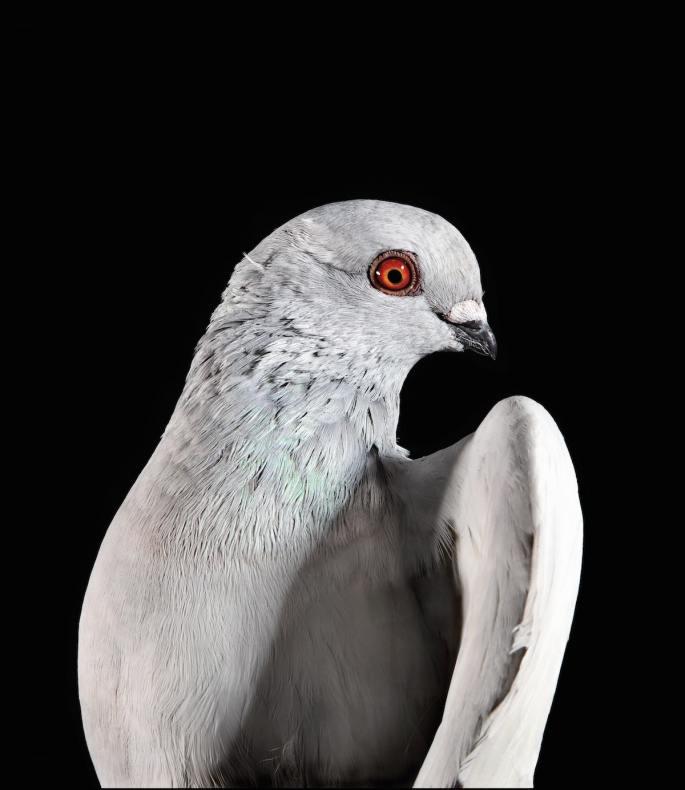 pigeon-photos-andrew-garn-2