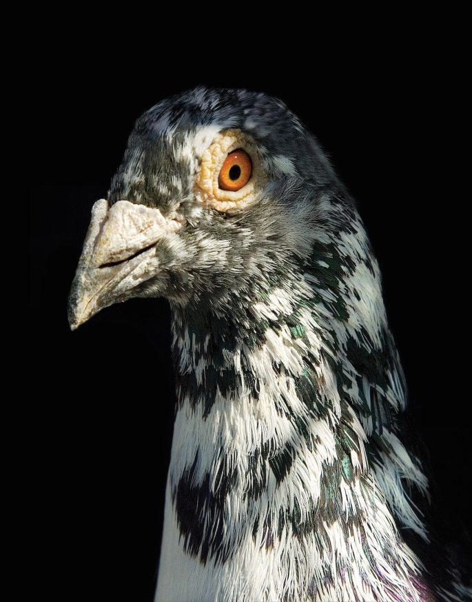 pigeon-photos-andrew-garn-8