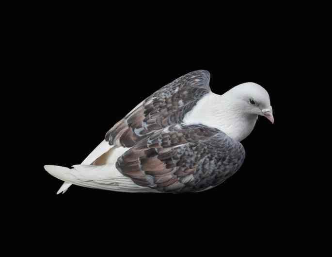 pigeon-photos-andrew-garn-9